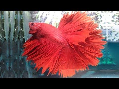 Most Beautiful Types of Betta Fish | Top Betta Fish Names
