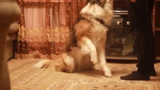 Дрессировка: Как научить собаку хромать?