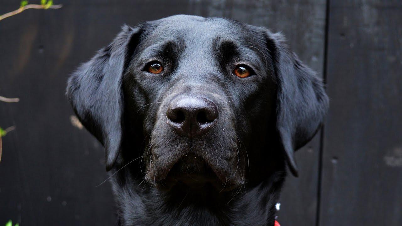 Molly The Black Labrador: 8 Months