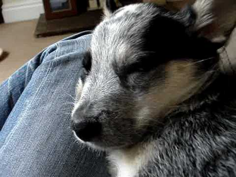 blue heeler puppy moans about being woken...