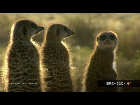 The Best Of Earth-Touch: Meerkat Overload!