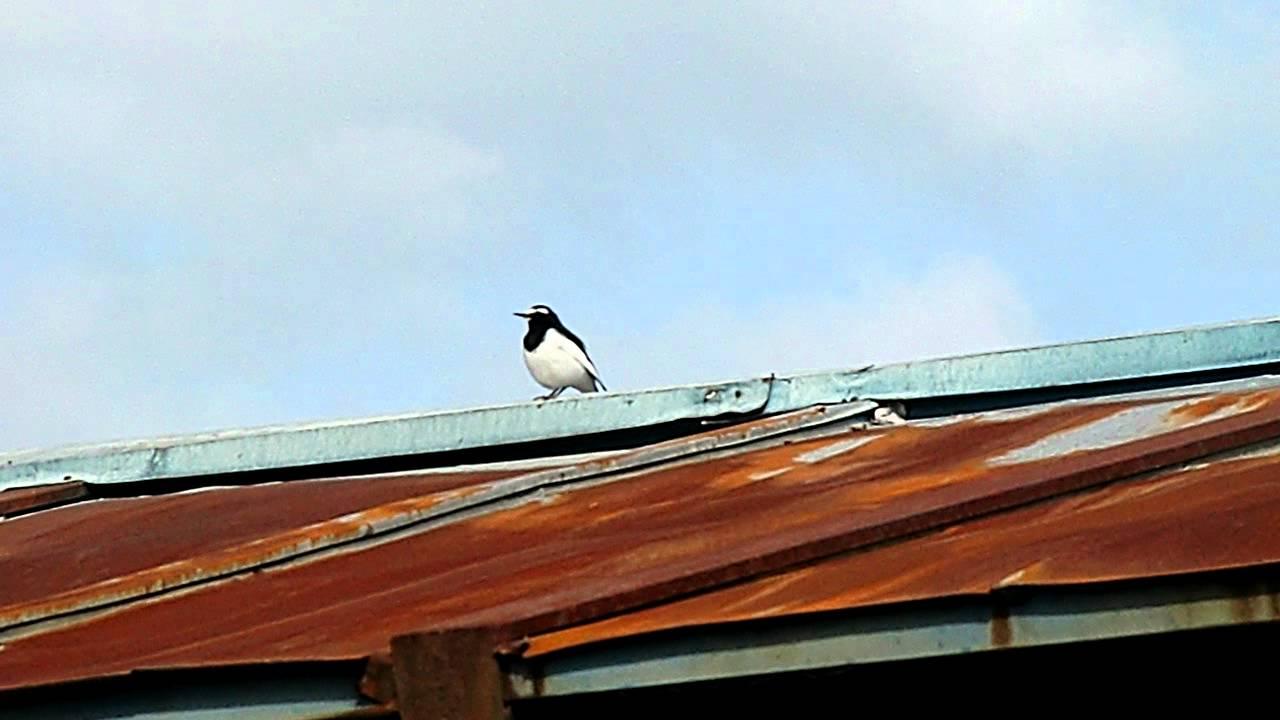 鳴き声 セキレイ シジュウカラ|日本の鳥百科|サントリーの愛鳥活動