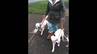 Staffordshire Bull Terriers Not Pulling