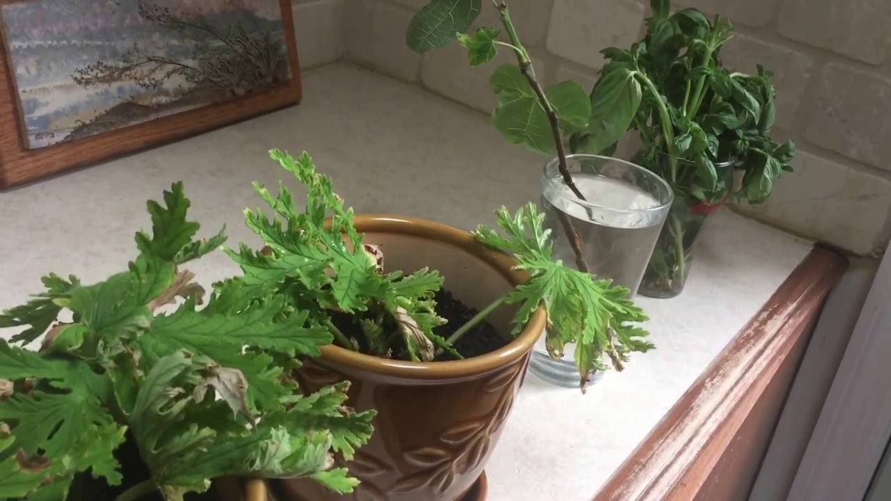 How To Propagate Easily Citronella Basil And Fig Cuttings
