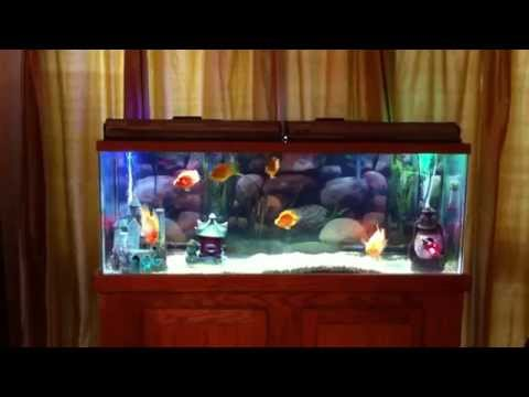 55 gallon Parrot Cichlid fish