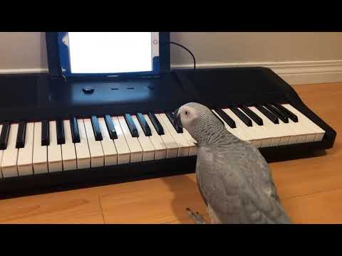 Pablo - Parrot Playing Keyboard
