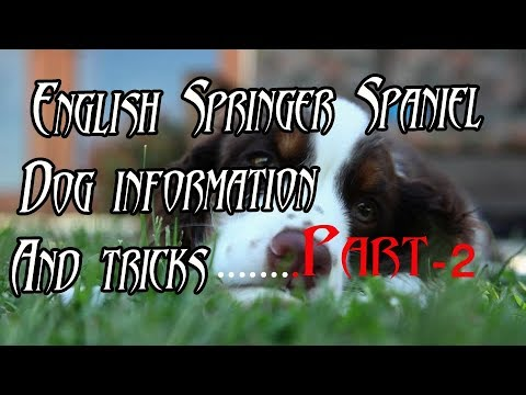 English Springer Spaniel Dog information with video animation | English Springer
