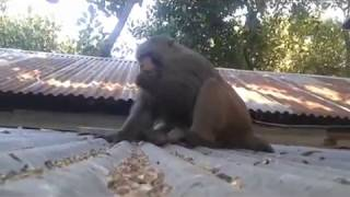 Monkey love with Woman, Monkey sex with Woman