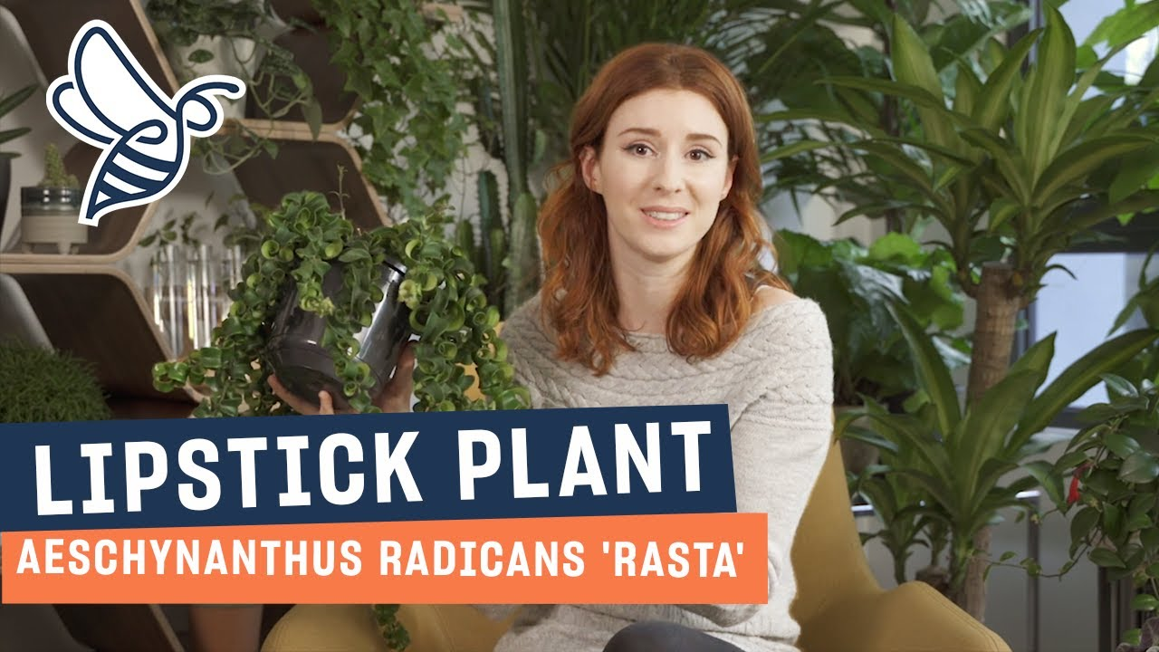 Lipstick Plant Care Tips Youtube
