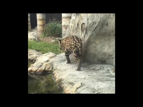 Video: Nabalam the jaguar at Palm Beach Zoo dies