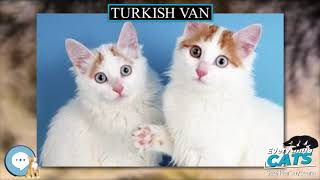 Turkish Van  EVERYTHING CATS