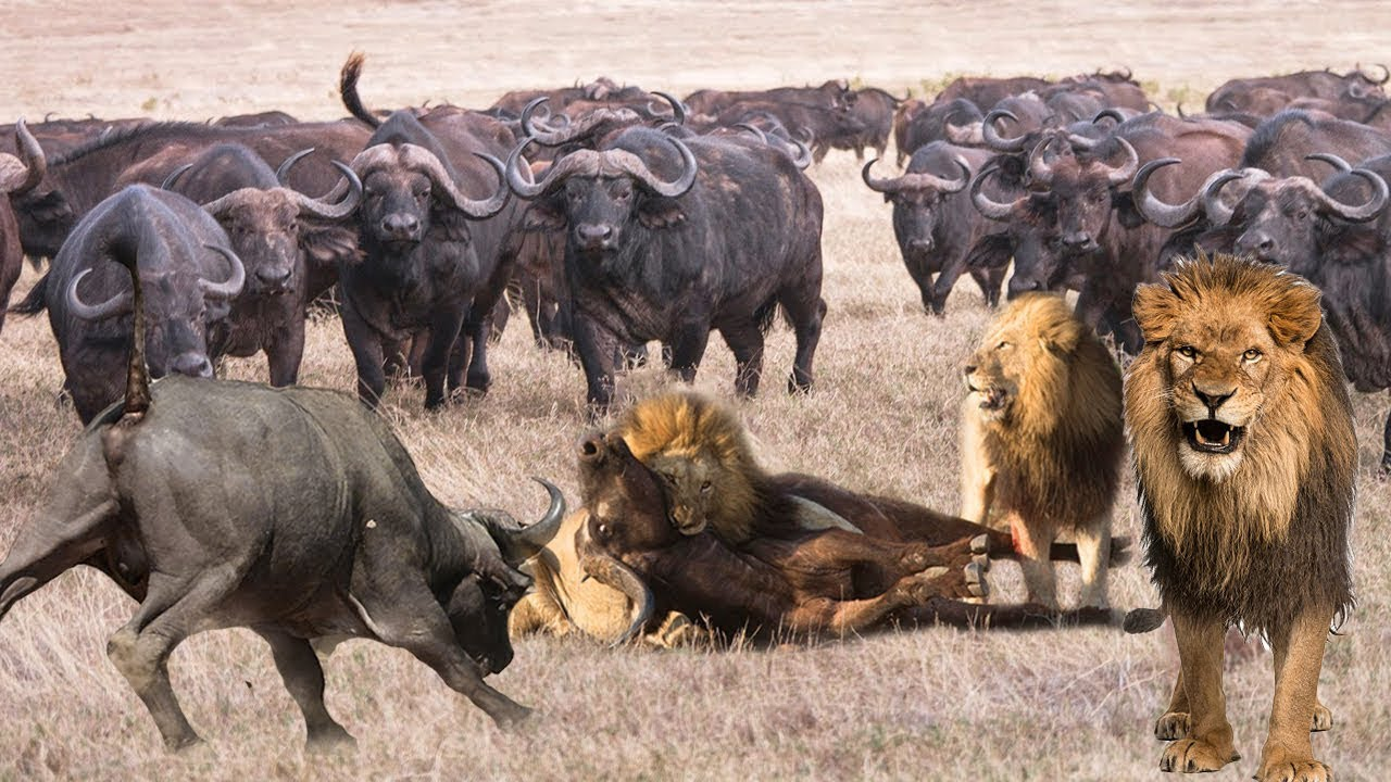 Hottest Buffalo Rebelled To Attack Lion For Being Bullied For So Long | Attack For Survival