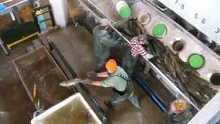 Salmon River Fish Hatchery Egg Take 2008