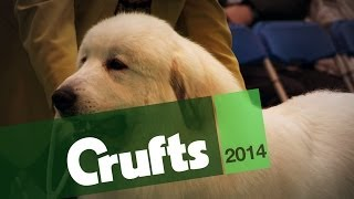 From BoB to Arena | Pyrenean Mountain Dog | Crufts 2014