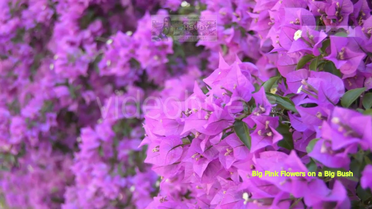 Big Pink Flowers On A Big Bush Stock Footage Youtube
