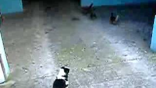 More Puppies Chasing Chickens