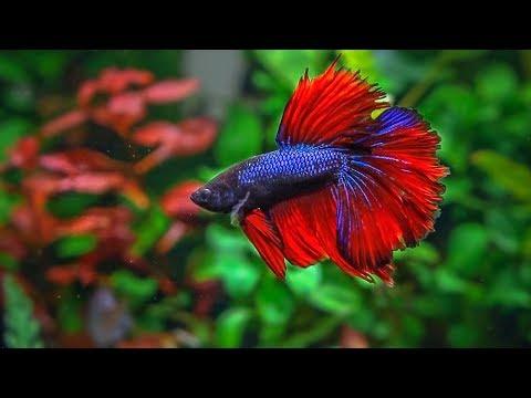 Betta fish jungle aquascape | Planted Betta Aquarium