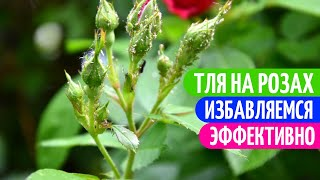 Это ВАЖНО Сделать! Устраняем Тлю на Розах БЕЗ ХИМИИ. Мои цветы.