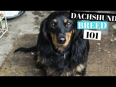 DACHSHUND DOG 101 - ABOUT THE DOG BREED
