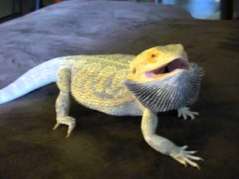 K Dragon Lizard LOKI BEARDED DRAGON AN...