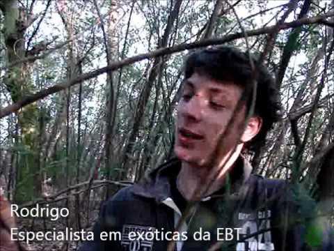 EM BUSCA DA FLORESTA PERDIDA - Exóticas invasoras: acacial (EB de Távora)