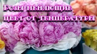 Розы хамелеоны, цветы в упаковке купить. Букеты. Подарки.
