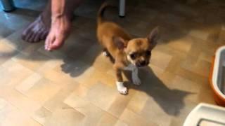 Чихуахуа. Купить щенка чихуахуа мини РКФ. 8-905-546-66-92