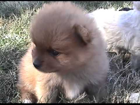 Toy Poodle Pomeranian Puppies You