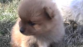 Toy Poodle & Pomeranian Puppies