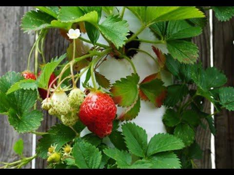 Вертикальная грядка для клубники, сорта клубники для выращивания в трубе, уход, полив и подкормка
