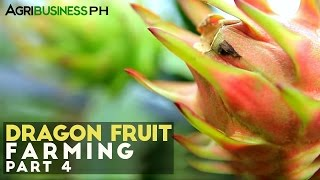 How to harvest dragon fruit : Dragon fruit farming Part 4 #Agriculture