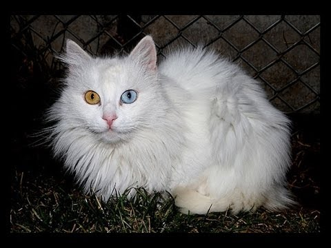 The Van Cat Documentary- Van Kedisi Belgesel (english)