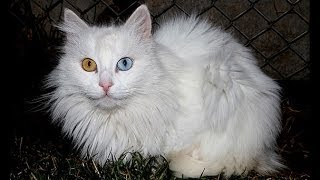 The Van Cat Documentary Van Kedisi Belgesel (english)
