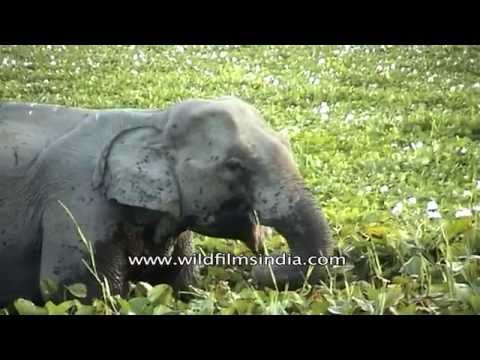 Indian elephant eating aquatic plants at Kaziranga National Park