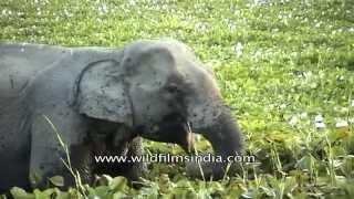 Indian elephant eating aquatic plants at Kaziranga National Park