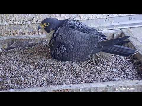 4/6/21 5:50 pm:  First hatch; SCPBRG Falcons: SF PG&E peregrines