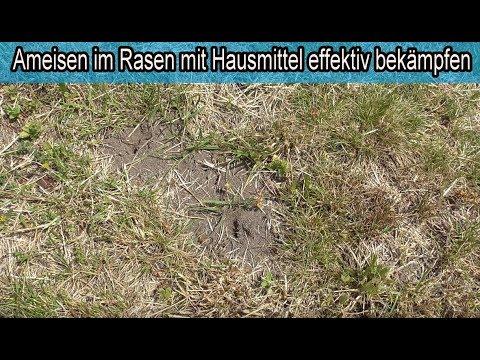Ameisen Im Rasen Mit Hausmittel Wirksam Bekampfen Ameisen