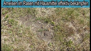 Ameisen im Rasen mit Hausmittel wirksam bekämpfen – Ameisen zerstören den Rasen – HILFE !