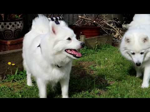 Canon G7x Test - Japanese Spitz dogs at Mums