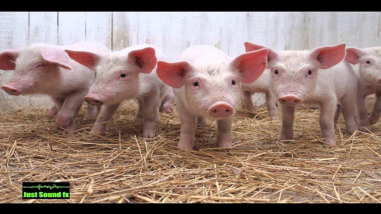 pig sound - YouTube