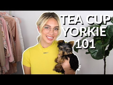 SMALLEST DOG EVER - TEACUP YORKIE & everything you need to know