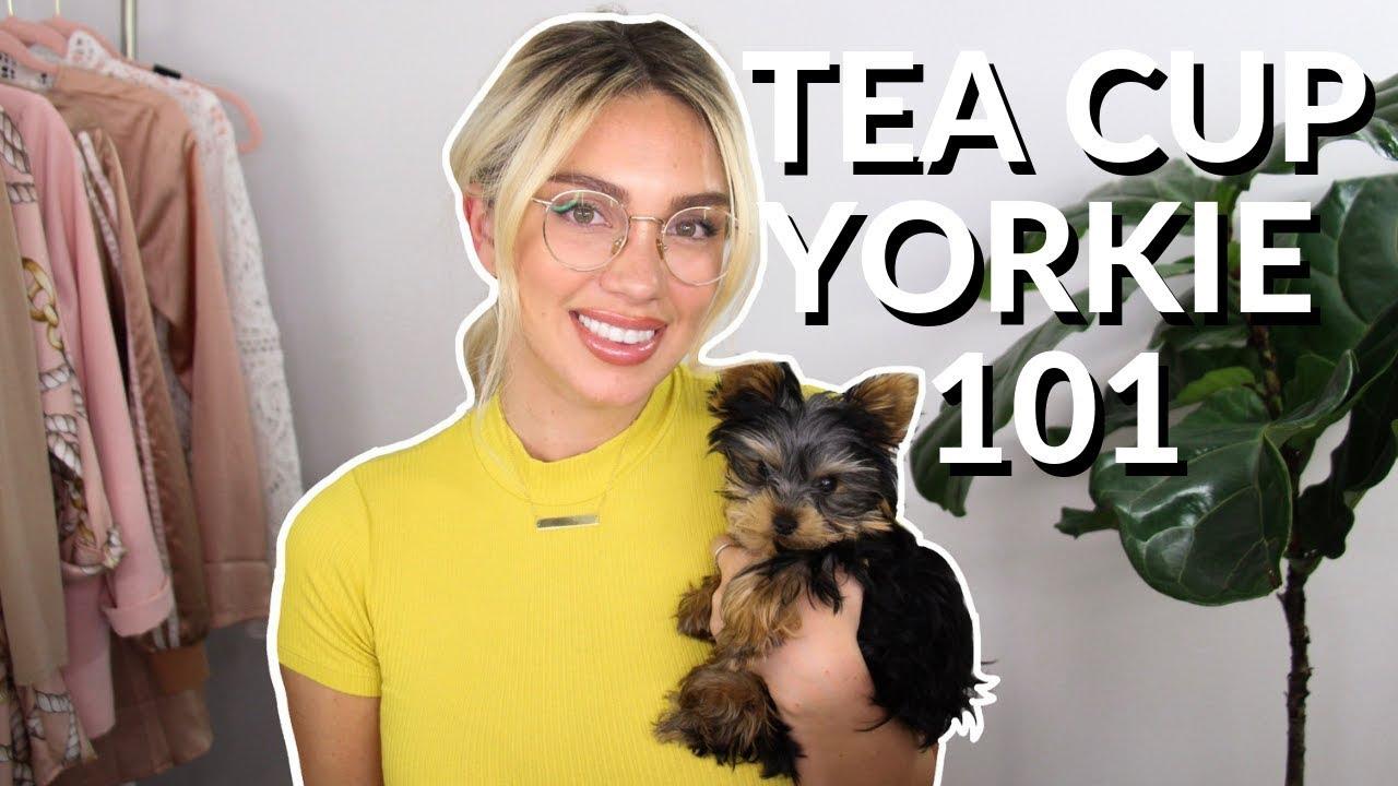 Yorkie teacup adult