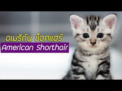 รู้จักแมวพันธุ์ อเมริกัน ช็อตแฮร์ (American Shorthair) #PerkakEiei
