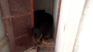 Rott Gili Oujda Lazari  Rottweiler Royal A Vendre Combat De Dog.avi