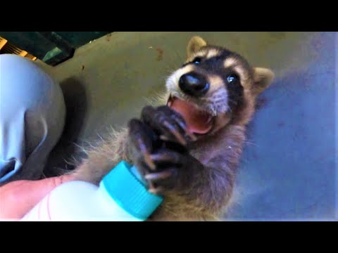 Raccoon baby from YouTube · Duration:  1 minutes 45 seconds