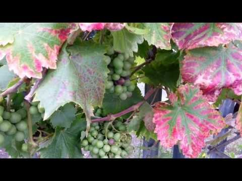 How to Grow Grape Vines on a Fence