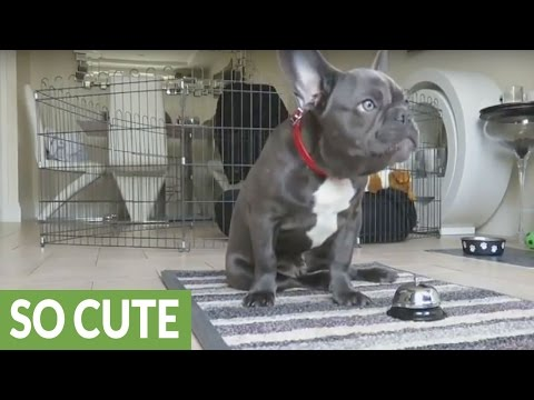 French Bulldog puppy displays vast array of dog tricks