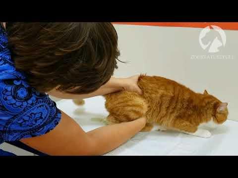 Мануальное опорожнение мочевого пузыря кошек и собак
