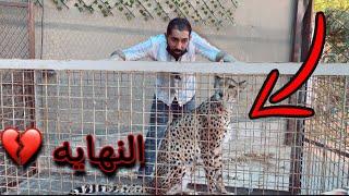 آخر فيديو مع الفهد 🐆 ( شيخه )  والسبب !! 💔