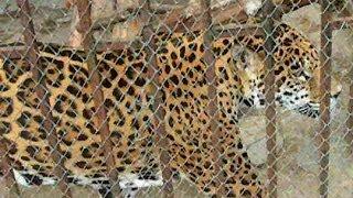Ягуар животное. Животный мир ягуар. Видео ягуар. Ягуар животное видео